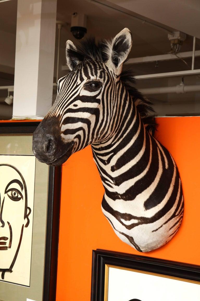 Vintage zebra taxidermy, circa 1970, South Africa. Very good condition.