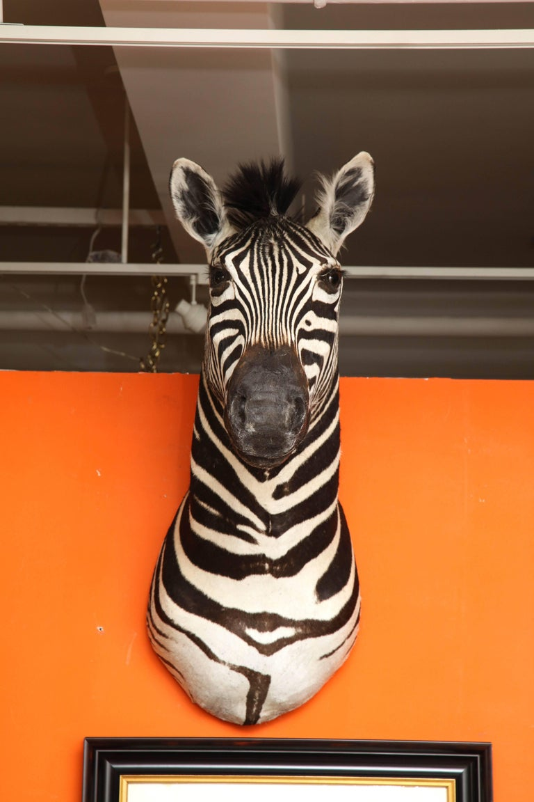 Campaign Taxidermy, Zebra, Vintage For Sale