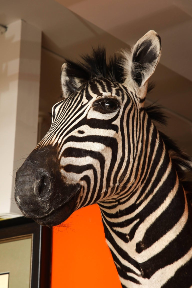 South African Taxidermy, Zebra, Vintage For Sale