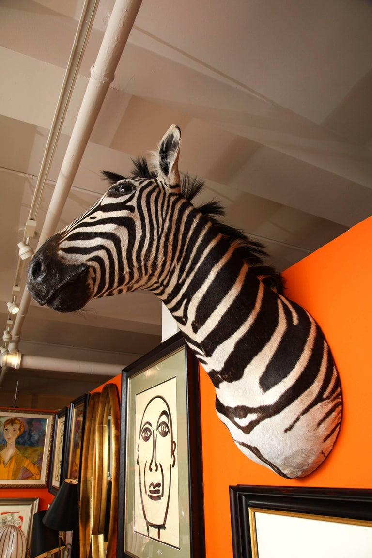 Hand-Crafted Taxidermy, Zebra, Vintage For Sale