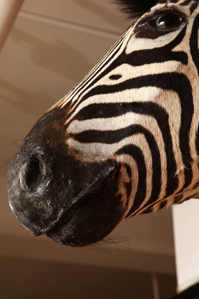 Taxidermy, Zebra, Vintage In Excellent Condition For Sale In New York, NY
