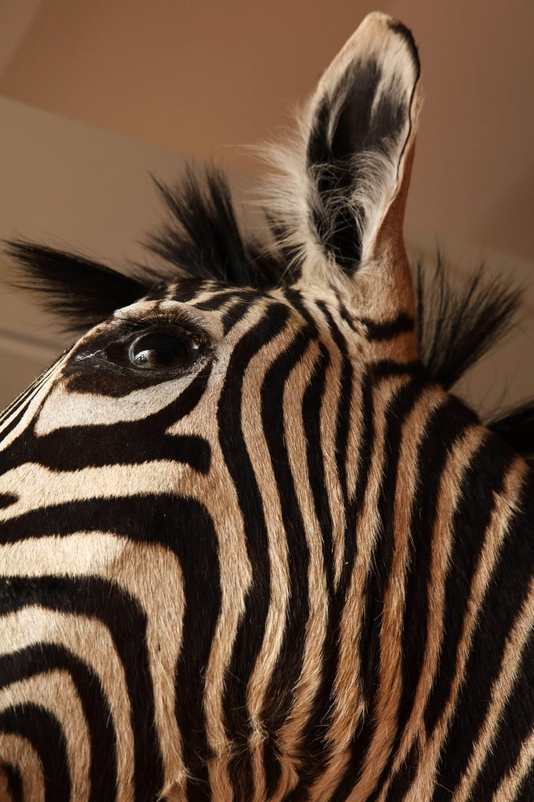 Late 20th Century Taxidermy, Zebra, Vintage For Sale