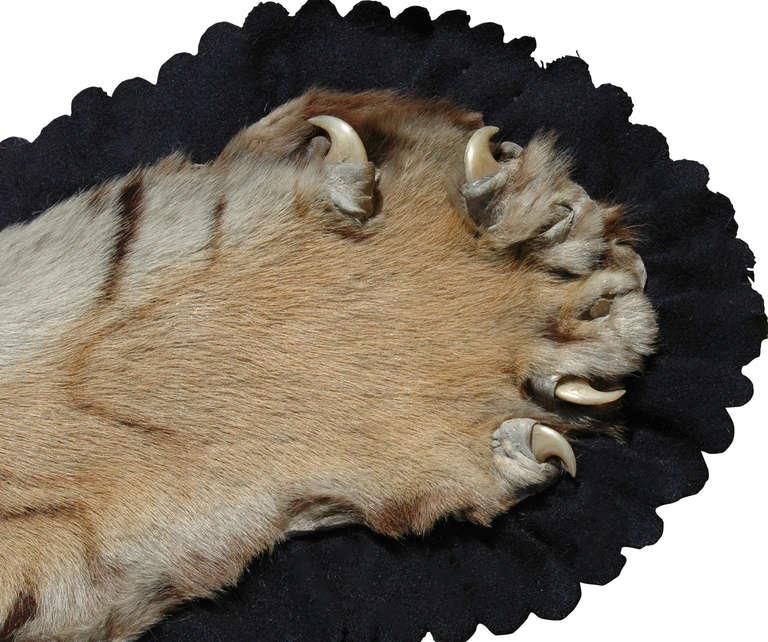 Flat Head Tiger Rug (Panthera Tigris) By Van Ingen And Van