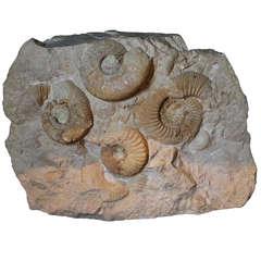 Prehistoric Ammonite Cluster