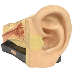 German Model of the Human Ear, Painted Plaster, 1950s