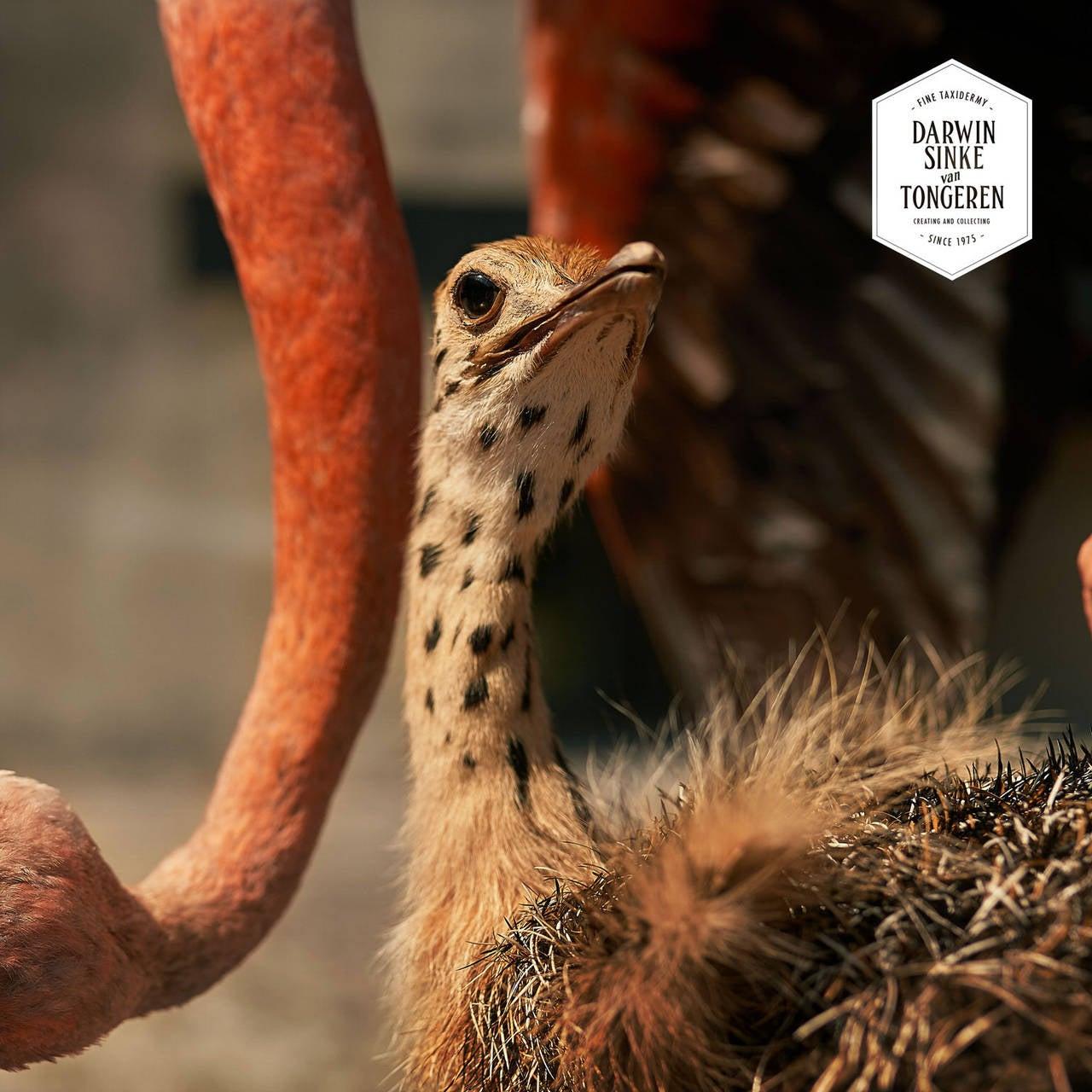 Fine Taxidermy Flamingo & Ostrich by Sinke & van Tongeren 5