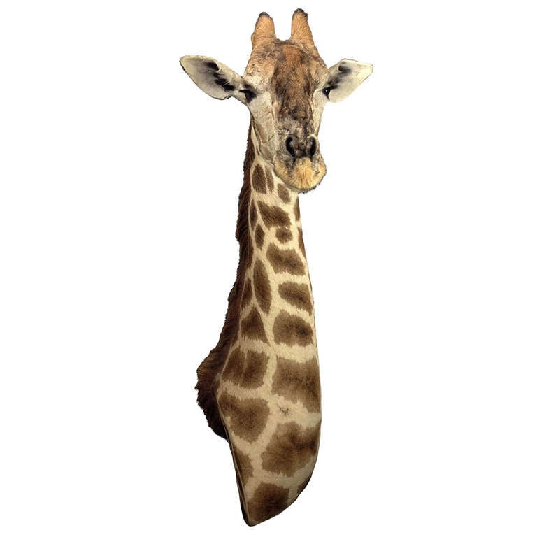taxidermy giraffe 3 4 neck mount for sale at 1stdibs