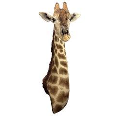 Taxidermy Giraffe 3/4 Neck Mount
