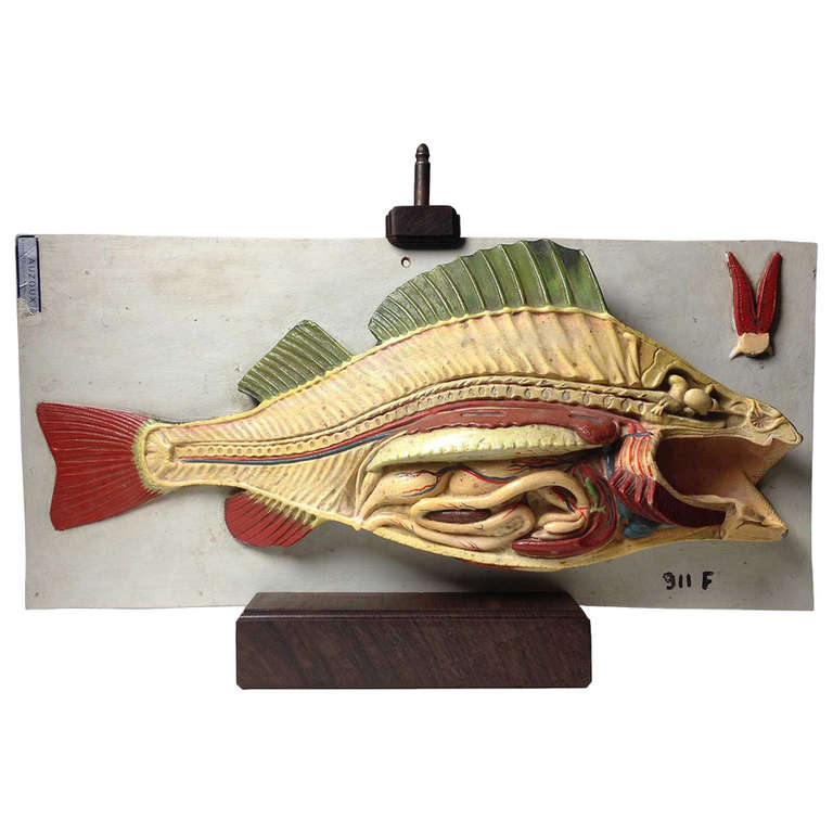 Fish Anatomy Model by Auzoux at 1stdibs