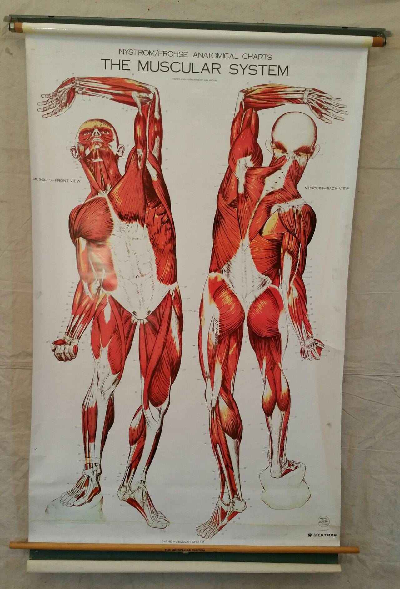 Nystrom Frohse Art Medical Chart The Muscular System For Sale At