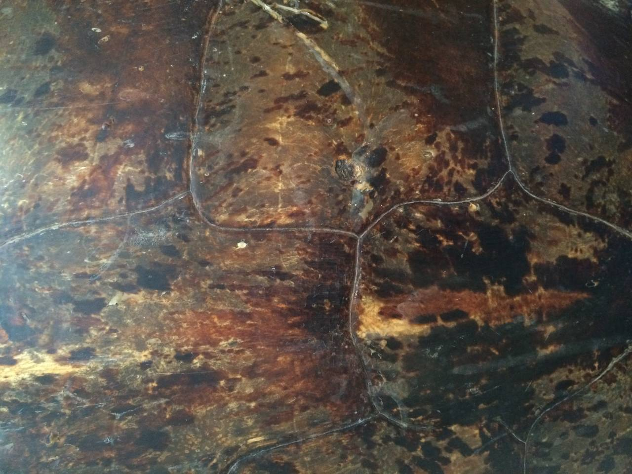 Monumental 19th Century Sea Turtle Shell For Sale At 1stdibs