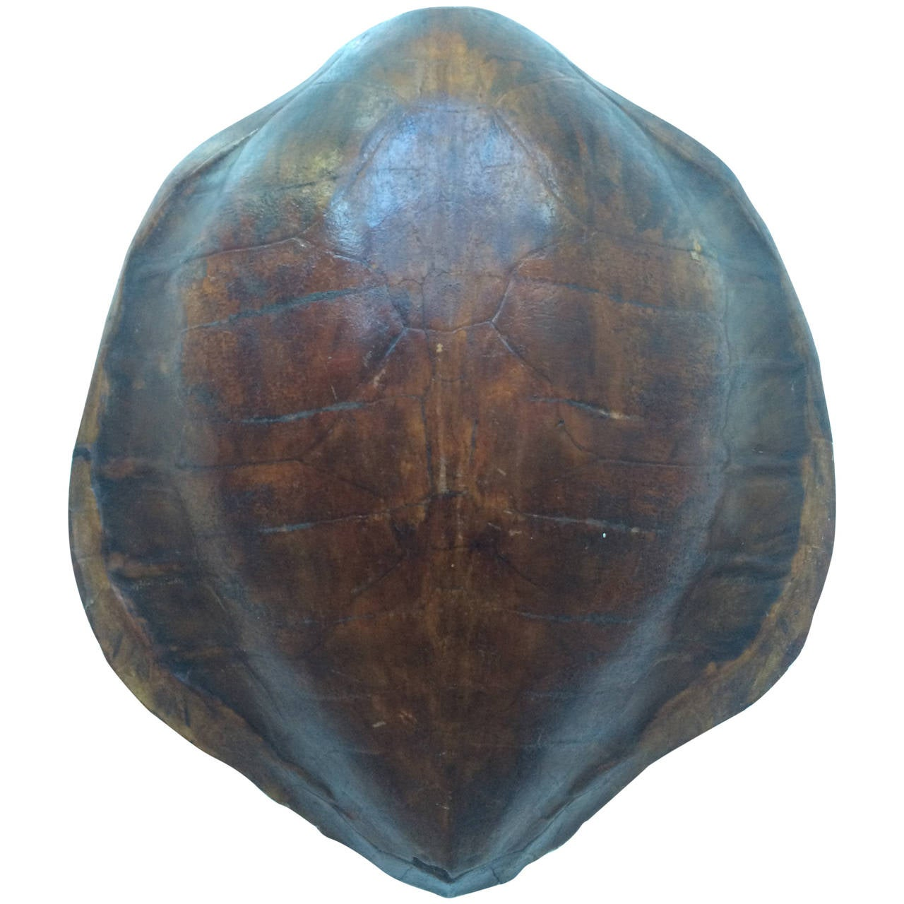 19th Century Sea Turtle Shell Or Carapace For Sale At 1stdibs