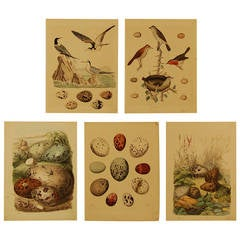 Set of Five Stuttgart Germany 19th Century Lithographs of Birds and Eggs