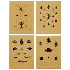 Set of Four German 19th Century Hand-Colored Lithographs of Beetles
