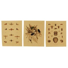 Set of Three Stuttgart Germany 19th Century Lithographs of Insects