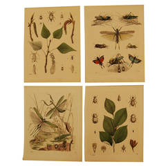 Set of Four German 19th Century Lithographs of Insects