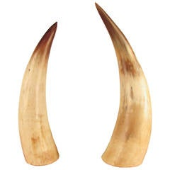 Captivating Pair of Large Natural Horns