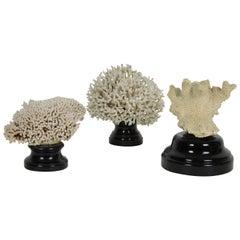 Three Vintage White Coral Specimen mounted on Black Wood Bases