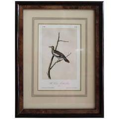 Audubon Texan Turtle Dove Print
