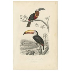 Antique Bird Print of the Yellow-Throated Toucan and the Toco Toucan, 1853