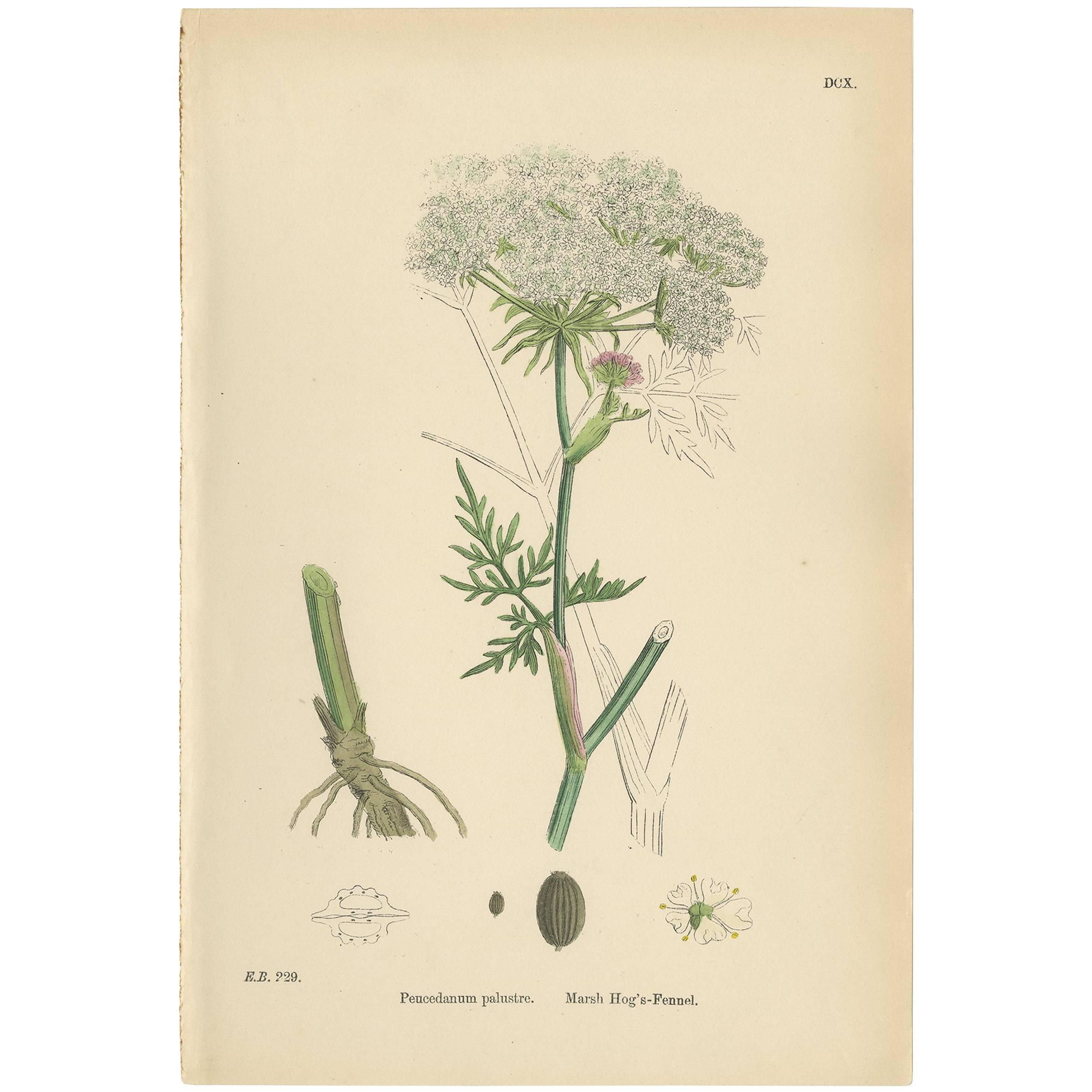 Antique Botany Print 'Marsh Hog's-Fennel' by J. Sowerby, circa 1860
