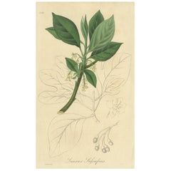 Antique Botany Print of the Sassafras Tree by G. Reid, 1831
