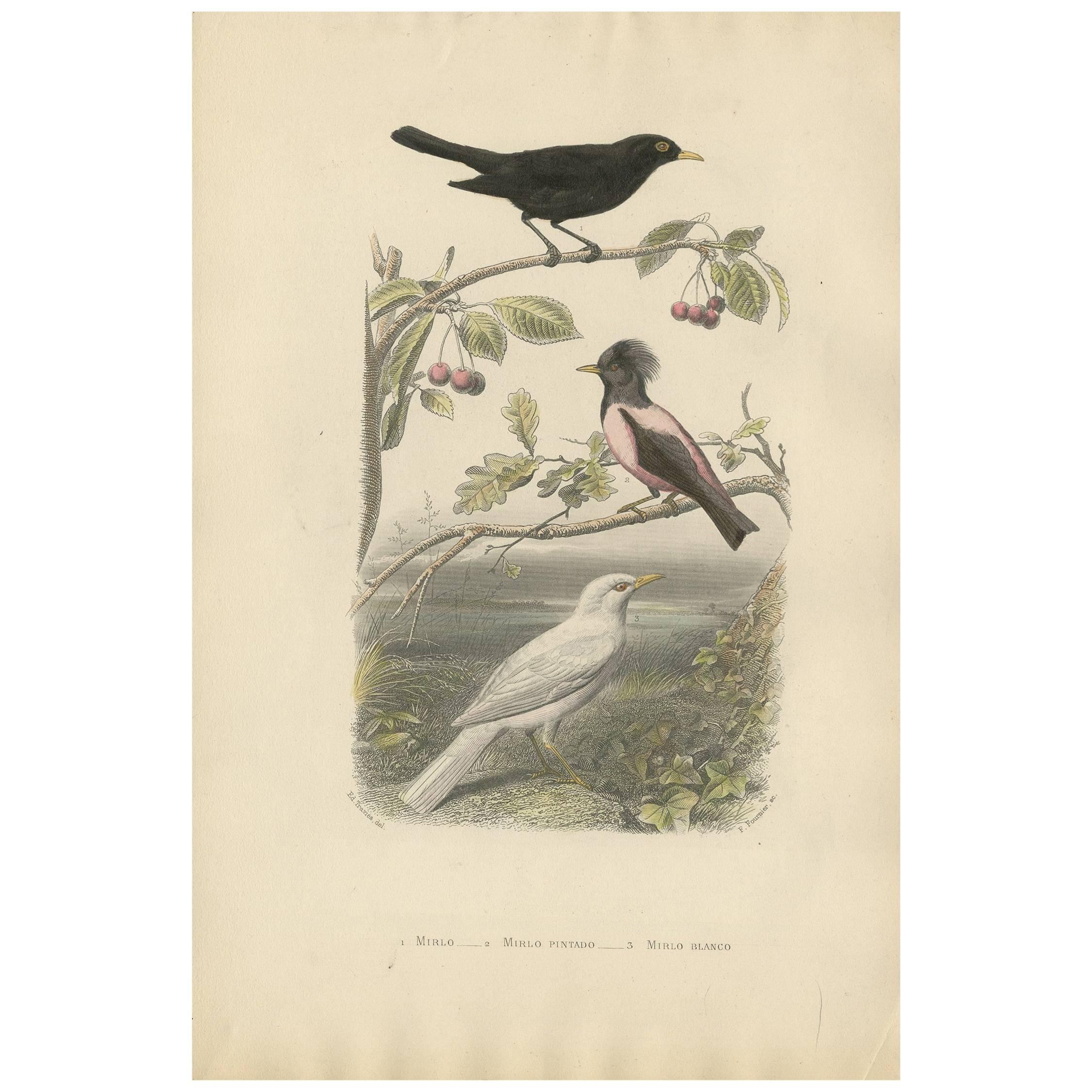 Antique Print of various Blackbird by F. Fournier, circa 1860