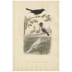 Antique Print of various Blackbird by F. Fournier, circa 1860