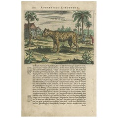 Antique Print of a Tiger by A. Kircher, circa 1660