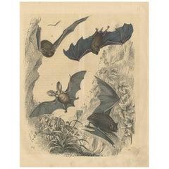 Antique Animal Print 'Bat' by C. Hoffmann, 1847