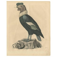 Antique Bird Print of a Condor 'Vulture' by C. Hoffmann, 1847