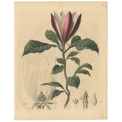 Antique Botany Print of a Magnolia Tree by C. Hoffmann, 1847