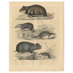 Antique Animal Print of Rodents by C. Hoffmann, 1847
