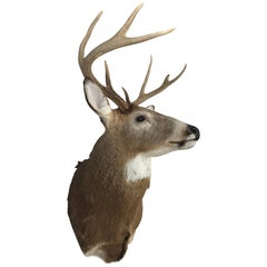 Eight-Point Deer Head Taxidermy Mount