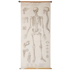 "Vintage School Teaching Chart ""Human Skeleton"""