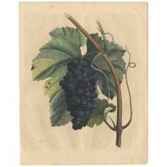 Antique Print of a Grape Tree by C. Hoffmann, 1847
