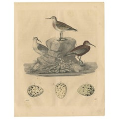Antique Bird Print of Sanderlings by C. Hoffmann, 1847
