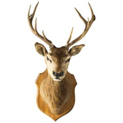 Scottish Mounted Taxidermy Stag, Early 20 Century