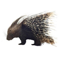 Large South African Crested Porcupine or Hystrix Cristata
