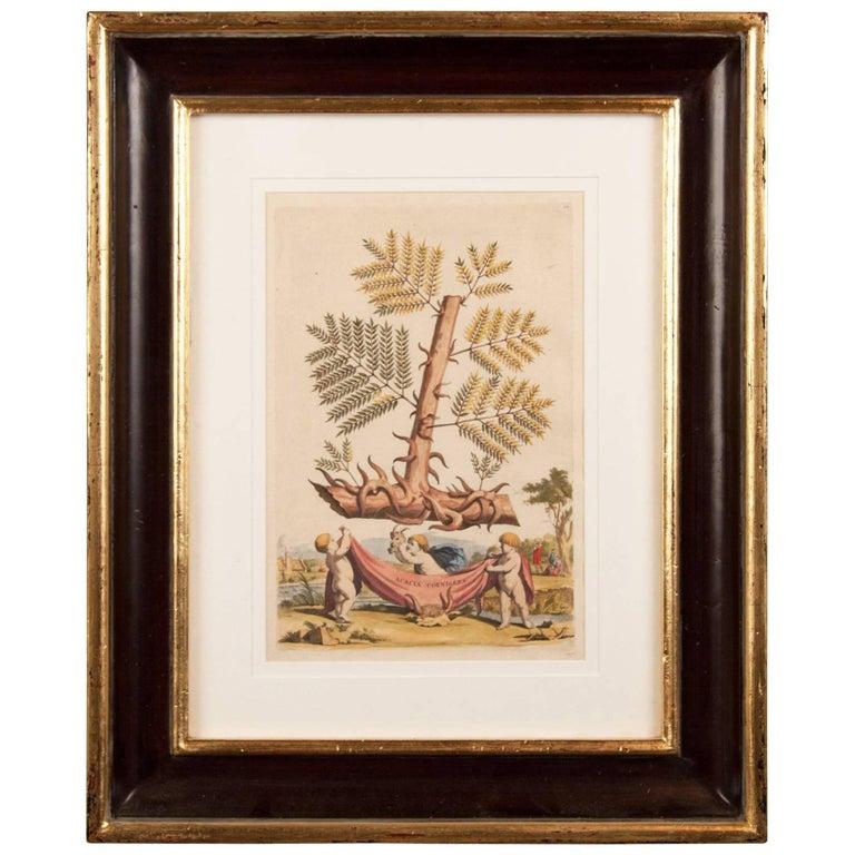Late 17th Century Botanical Engraving