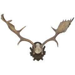 Fallow Deer Antlers on Shield