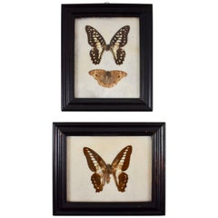 Victorian Framed Taxidermy, Mounted Butterflies on Batting, Set of Two