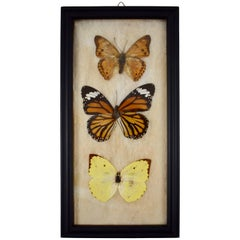 Victorian Framed Taxidermy, Mounted Butterflies on Batting