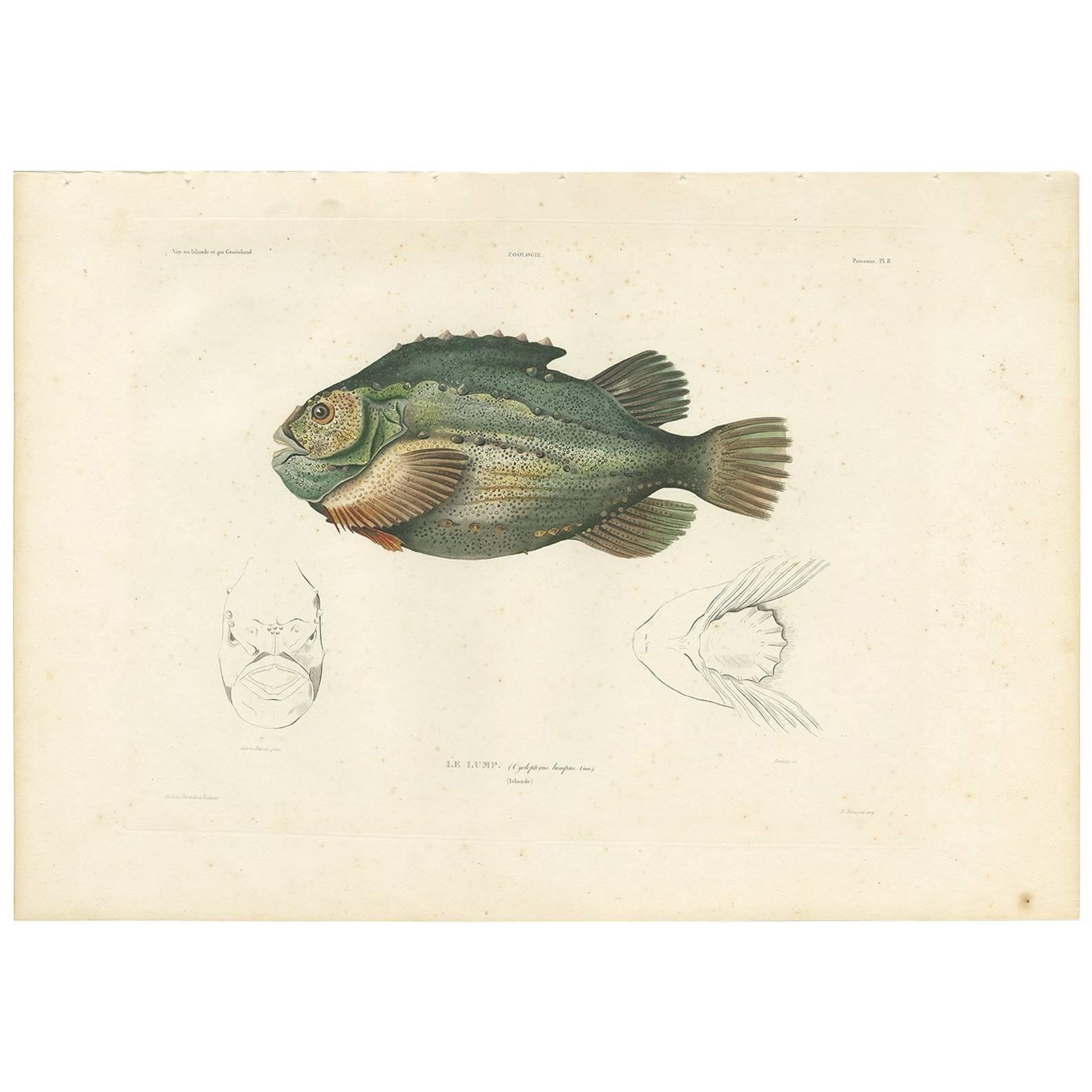 Antique Fish Print of the Lumpsucker or Lumpfish by M. P. Gaimard, 1842