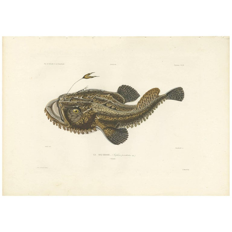 Antique fish print of the lophius piscatorius 39 angler 39 by for Angler fish for sale