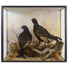 Edwardian Taxidermy Case of a Black Grouse by Peter Spicer