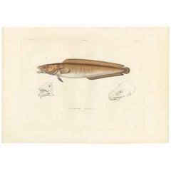 Antique Fish Print of the Cusk or Tusk 'Brosme Brosme' by M.P. Gaimard, 1842
