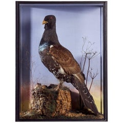 Victorian Taxidermy Case of a Capercaille by Walter Swaysland of Brighton