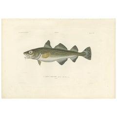 Antique Fish Print of the Atlantic Cod by M.P. Gaimard, 1842
