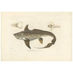 Antique Fish Print of the Rabbit Fish 'or Rat Fish' by M.P. Gaimard, 1842